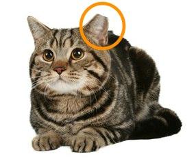 eartippedcat